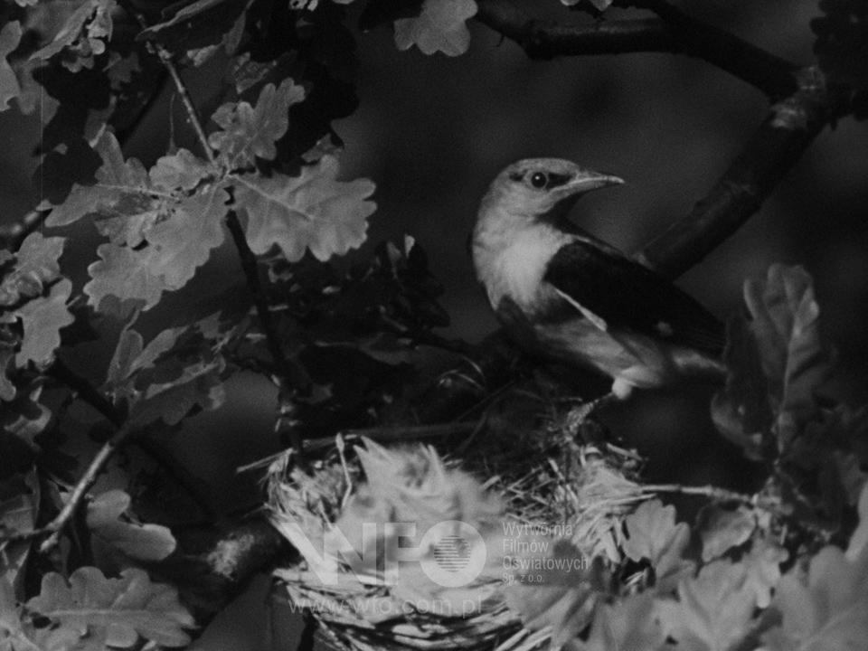Hatching of nestlings
